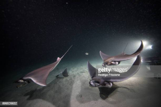 Mobula rays feeding on plankton at night