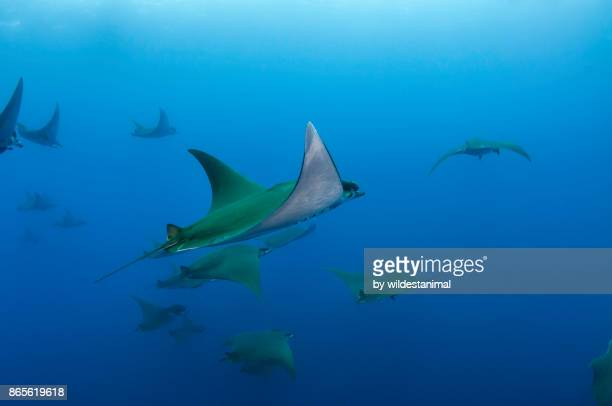 Mobula rays swimming at the Princess Alice Sea Mount off the coast of Pico Island in the Azores, Portugal.