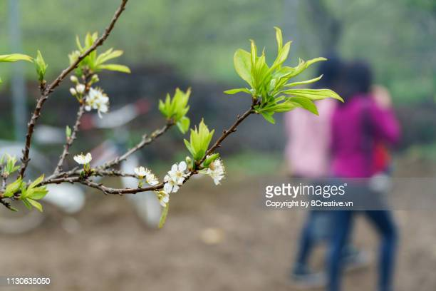 moc chau, son la, vietnam - plum flowers blossom in na ka valley in the middle of may. - son la stock pictures, royalty-free photos & images