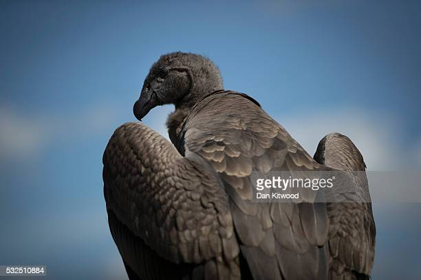 Moccas a one year old Andean Condor stretches his 10 foot wings in the sunshine at the ICBP on May 16 2016 in Newent England Sharing such close...