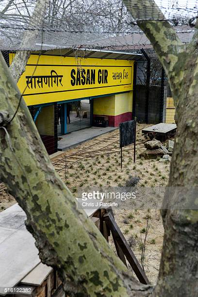 A mock train station platform in the enclosure of male Asiatic lion Bhanu at the new 'Land Of The Lions' at London Zoo on March 16 2016 in London...