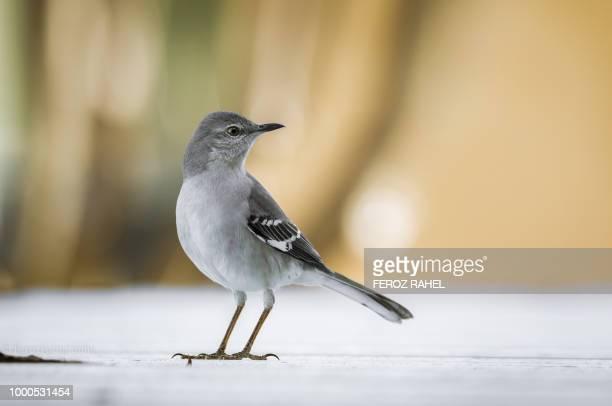 Mocking Bird.