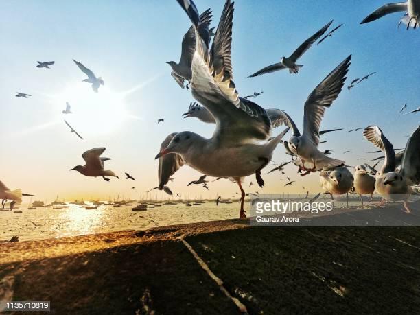 mocking bird - braunschwanzamazilie stock-fotos und bilder