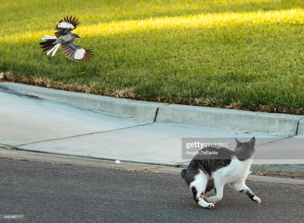 Mockingbird chases cat : Stock Photo