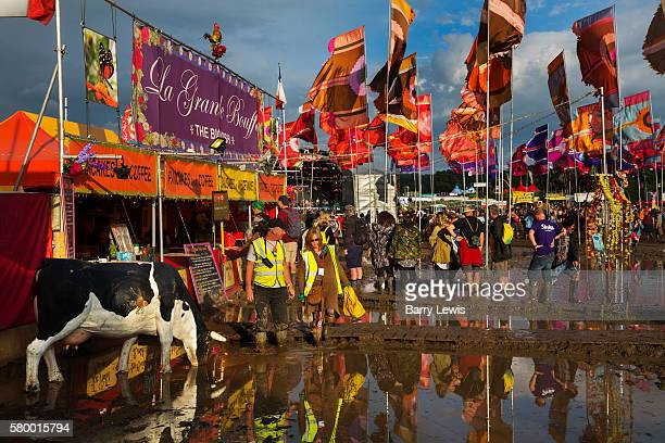 Model cow drinking in the West Holt field, Glastonbury Festival 2016. The Glastonbury Festival is the largest greenfield festival in the world, and...