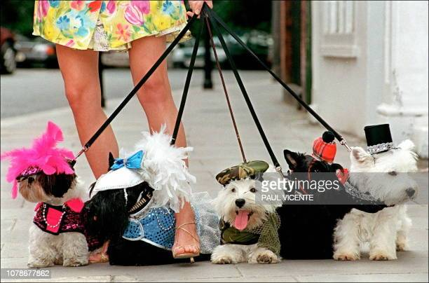 A model holds walks with dogs dressed in the newly launched doggie designer clothes from the Barking mad label 11 July on sale at the Harrods store...