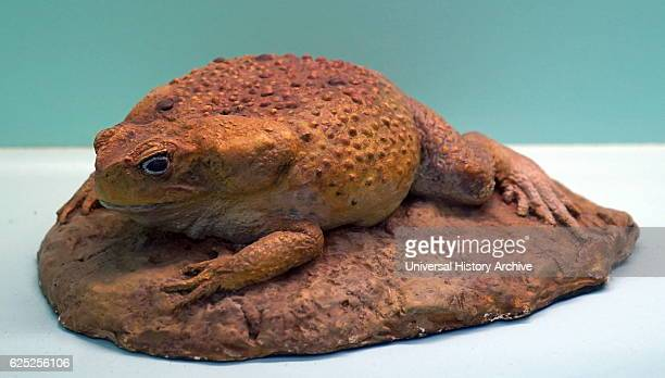 Model of a Cane Toad also known as the giant neotropical toad or marine toad Dated 21st Century