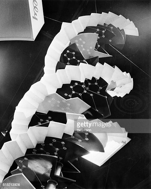 Model of a DNA molecule, after a pattern by Dr. Van R. Potter. A modification of the Watson-Crick model. Undated b/w photo.