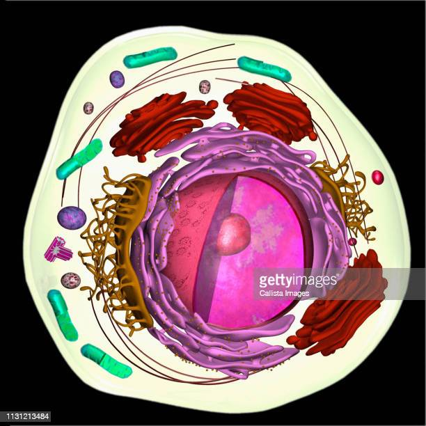 3d model of a eukaryotic cell - nucleus stock pictures, royalty-free photos & images