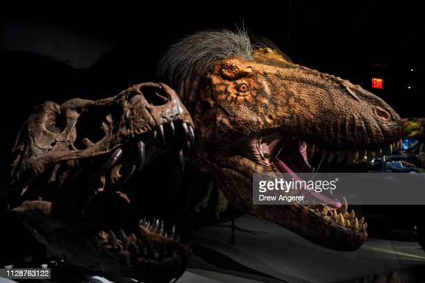 A model of a feathered Tyrannosaurus rex dinosaur stands in a new exhibit called 'T Rex The Ultimate Predator' at the American Museum of Natural...