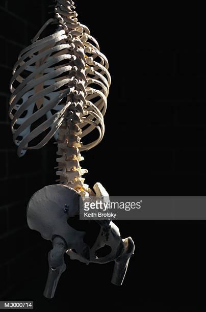 Model of a Skeleton Torso