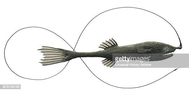 Model of a Whipnose angler a family Gigantactinidae of deepsea anglerfishes Dated 21st Century