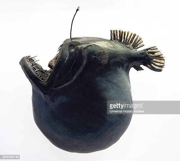 Model of an anglerfish after eating Anglerfishes are fish of the teleost order Lophiiformes Dated 20th Century