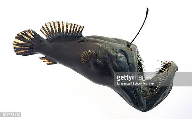 Model of an anglerfish Anglerfishes are fish of the teleost order Lophiiformes Dated 20th Century