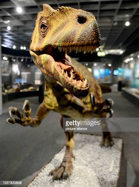 A model of anAllosaurus in the exhibition 'Dinosaurs' at the LWL Natural History Museum in MuensterGermany 25 September 2014 The exhibition opens...