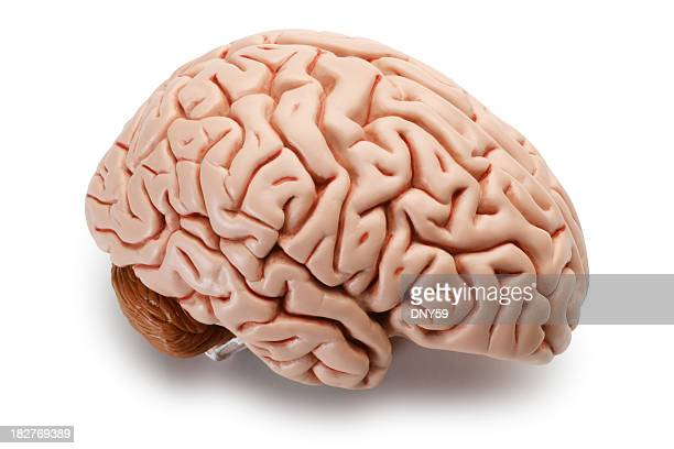 Model of brain isolated on a white background