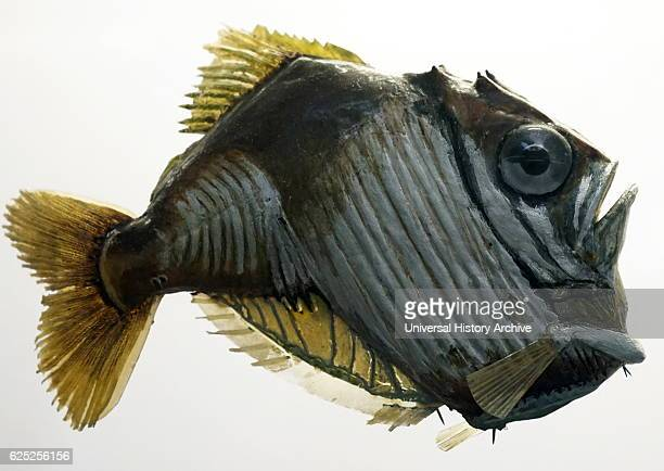 Model of Freshwater hatchet fish are a family Gasteropelecidae of rayfinned fish from South and Central America Dated 21st Century