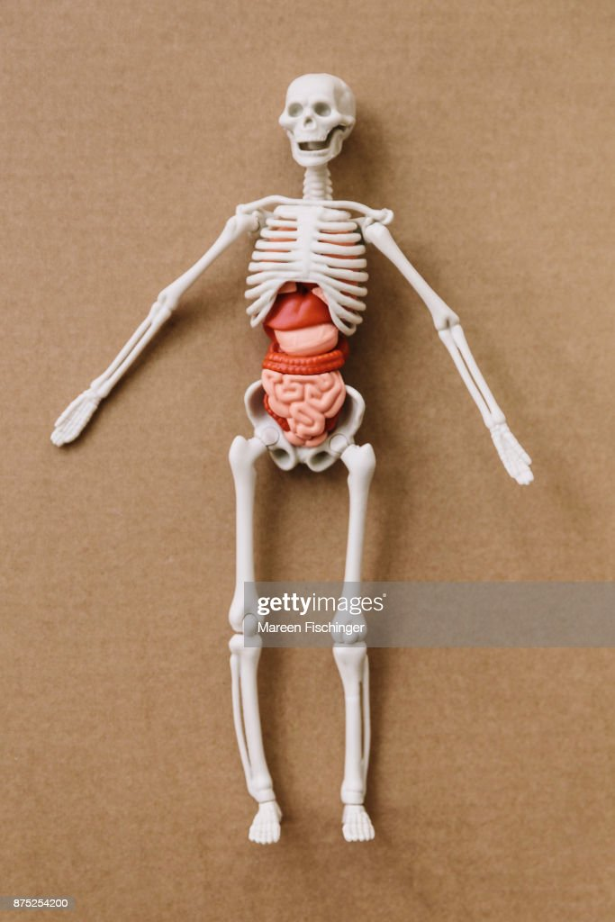 Model Of Human Body With Bones And Organs On Cardboard Stock Photo