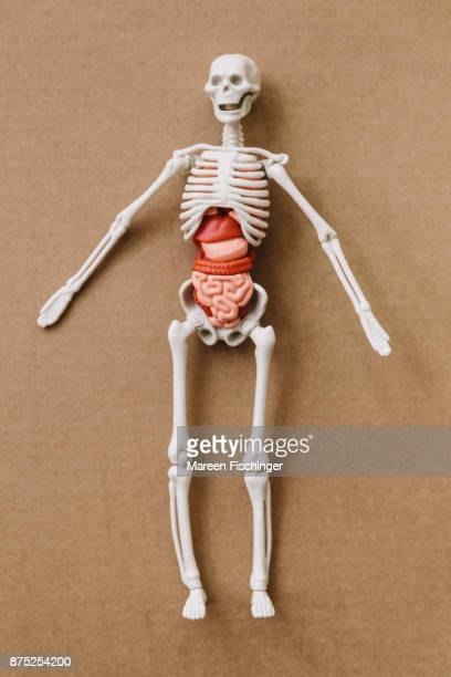 Model of human body with bones and organs on cardboard