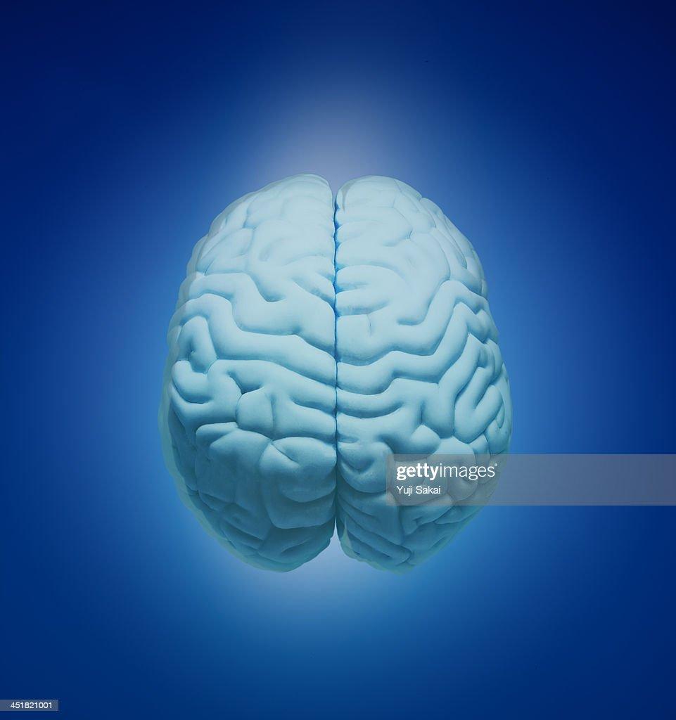 Model  of human brain : Stock Photo