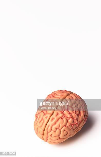 Model of human brain showing nervous system
