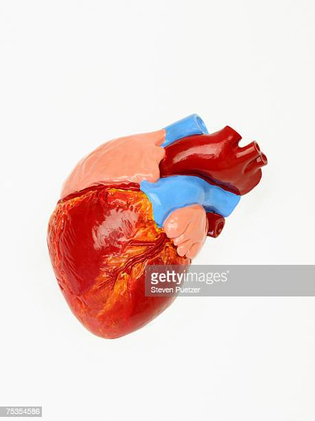 Model of human heart, close-up