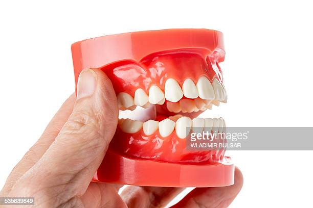 model of human jaw - human gums stock photos and pictures