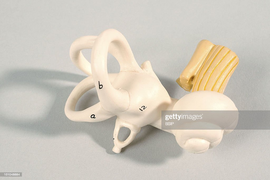Inner Ear Stock Photos And Pictures Getty Images
