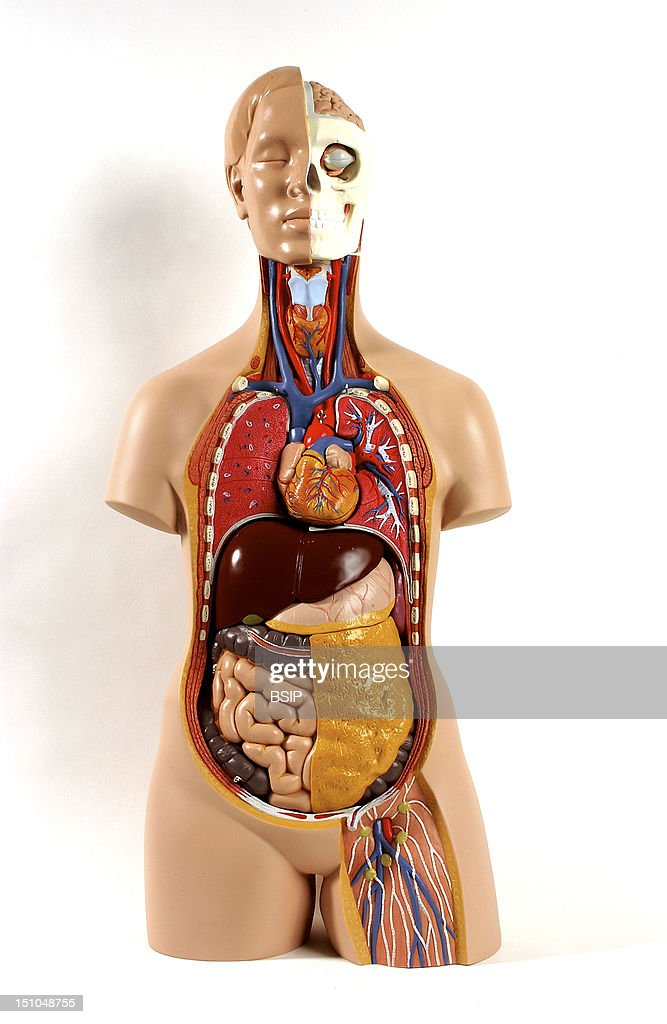 Model Of The Intern Anatomy Of An Asexual Torso Of An Adult Human