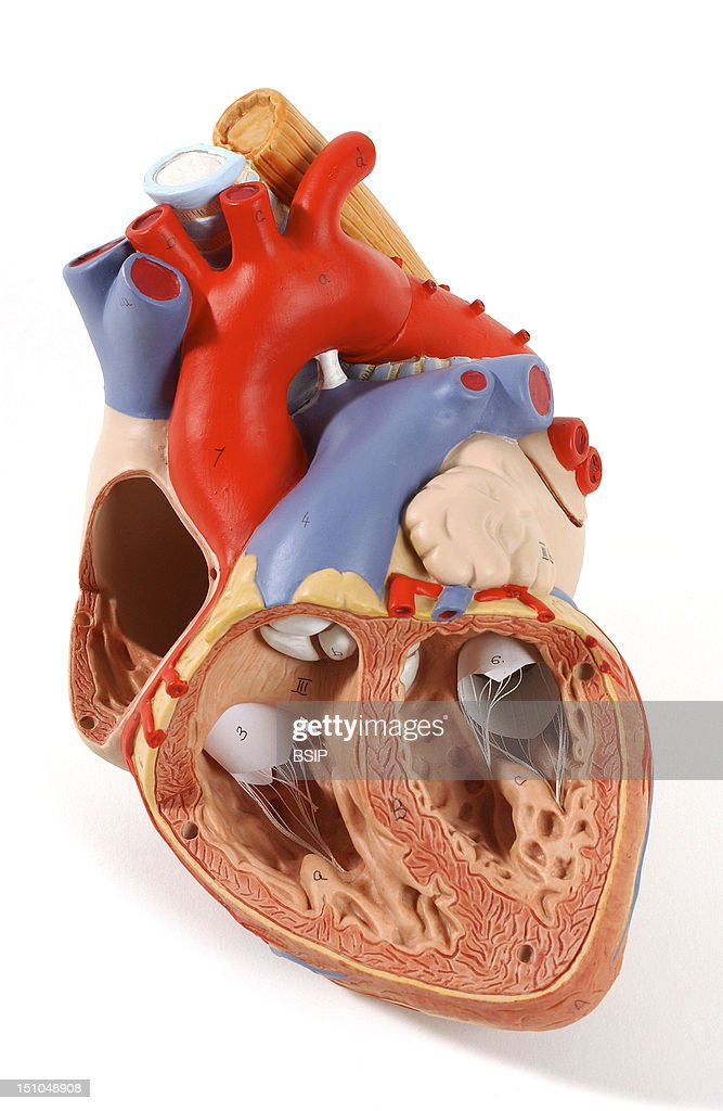 Heart, Anatomy Pictures | Getty Images