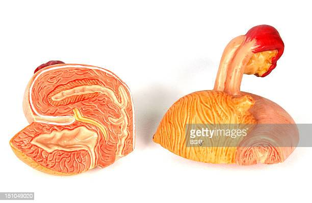 Model Of The Internal Anatomy Of The Genito Urinary Tract Of An Adult Human Female Anterior Views Of The Surface And Of A Median Section On The Left...