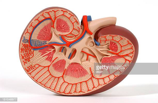 Model Of The Internal Anatomy Of The Right Kidney Of An Adult Human Body Anterior View Of A Frontal Section The Kidney Filters The Blood That It...