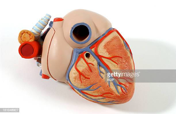 Model Of The Superficial Anatomy Of The Heart Of An Adult Human Body Posterior Oblique View The Heart Contains Four Cavities Two Atriums In Its Upper...