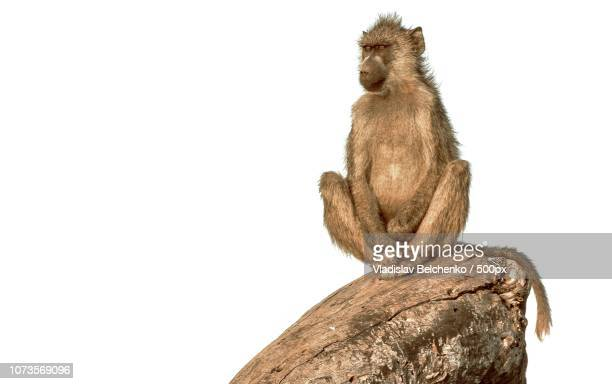 model - chacma baboon stock photos and pictures