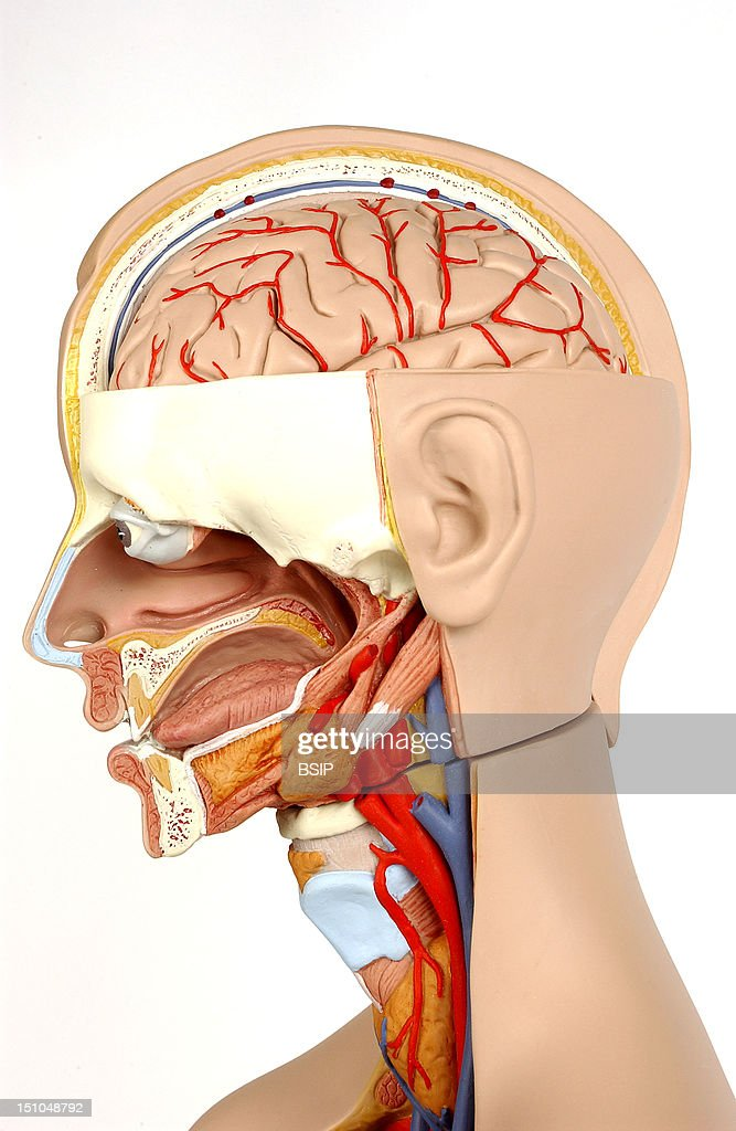 Model Showing The Internal Anatomy Of An Adult Human Head And Neck