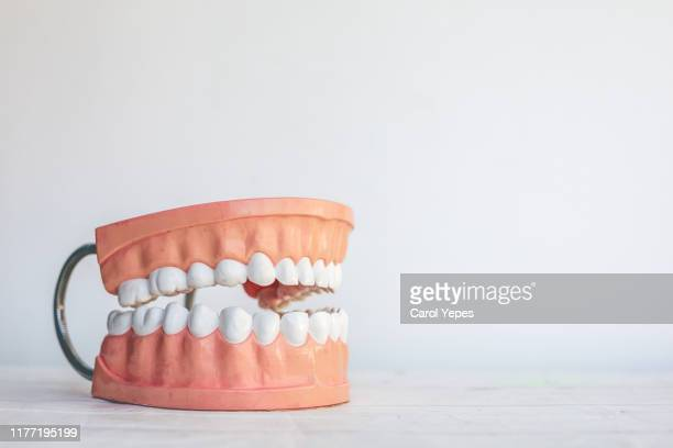 model teeth in white copyspace - molar stock pictures, royalty-free photos & images