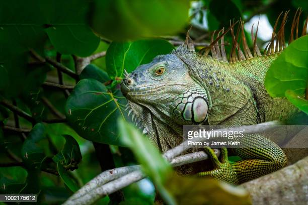 a modern day dinosaur, the green iguana is an invasive species common throughout south florida. - iguana foto e immagini stock