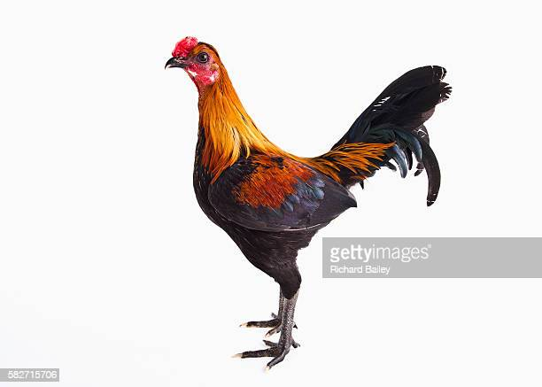 Modern Game Bantam Chicken