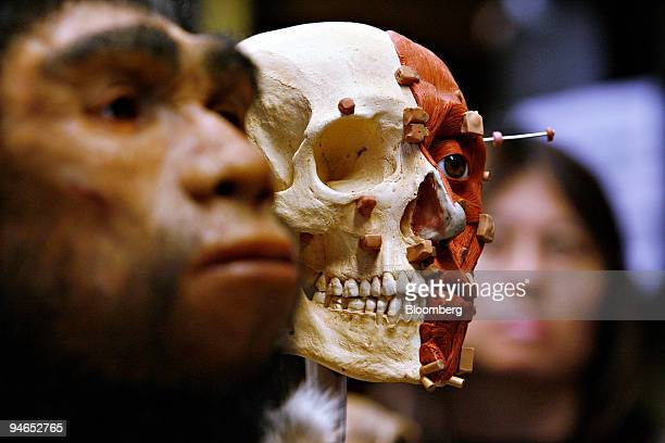 A modern human skull model center stands near a recreation of a prehistoric man left as a woman looks on right in a research laboratory at the...