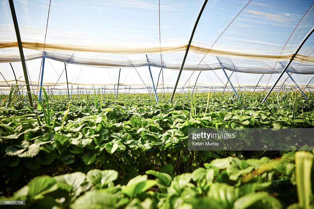 Modern Intensive Farming Poly Tunnels Stock Photo - Getty Images