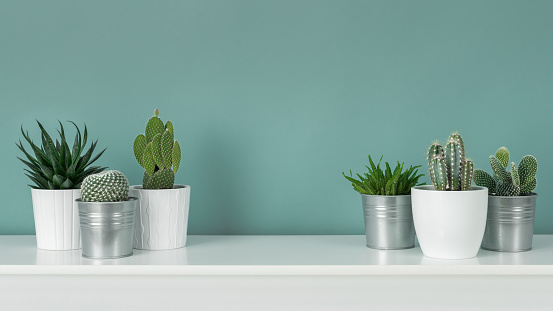 Modern room decoration. Collection of various potted cactus and succulent plants on white shelf against pastel turquoise colored wall. House plants banner. 1006556236