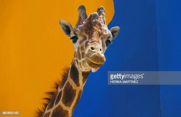 Modesto a male giraffe which is the mascot of Ciudad Juarez is pictured on its 18th anniversary at the Central park in Ciudad Juarez Chihuahua state...