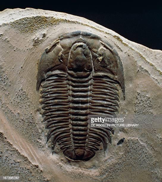 Modocia typicalis fossil Trilobita Middle Cambrian Epoch Novara Archivio Di Stato Di Novara