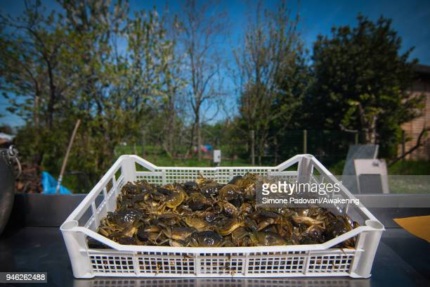 'Moeche' are ready to be eaten after a tour of fishing tourism organized by Cooperativa San Marco in Burano on April 14 2018 in Venice Italy At the...