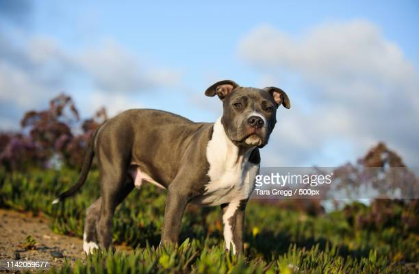 moglismith - american pit bull terrier stock pictures, royalty-free photos & images