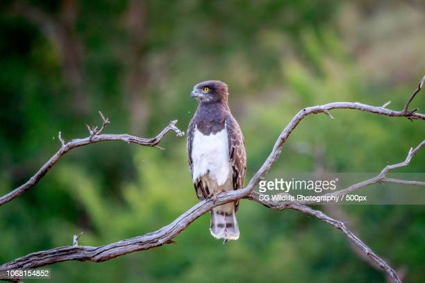mogwase, south africa - black chested snake eagle stock pictures, royalty-free photos & images