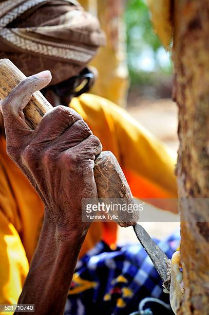 mohamed, a farmer of natural resins, harvests frankincense at a oasis close to bosaso, puntland - bosaso stock pictures, royalty-free photos & images