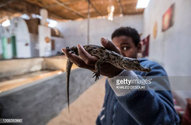Mohamed Mamdouh, the son of Hussein, shows a baby crocodile at his house in the Nubian village of Gharb Soheil, on the west bank of the Nile river...