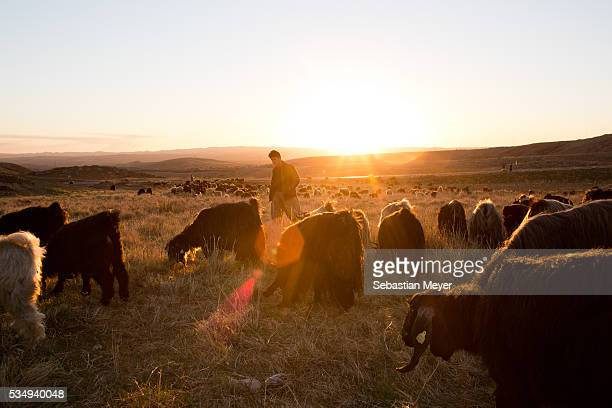 Mohammed a shepherd walks his flock back to his village in the evening