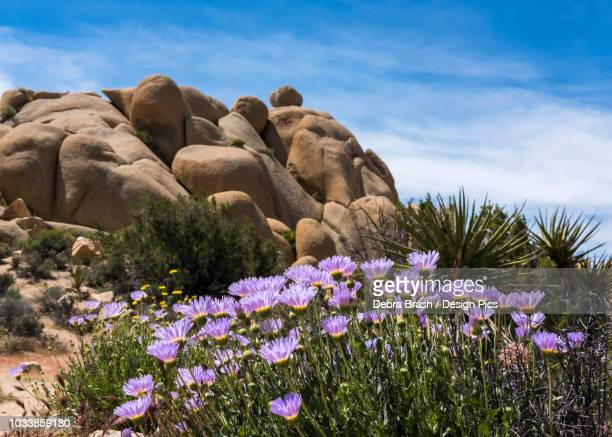 Mojave-asters (Xylorhiza tortifolia) bloom in Joshua Tree National Park
